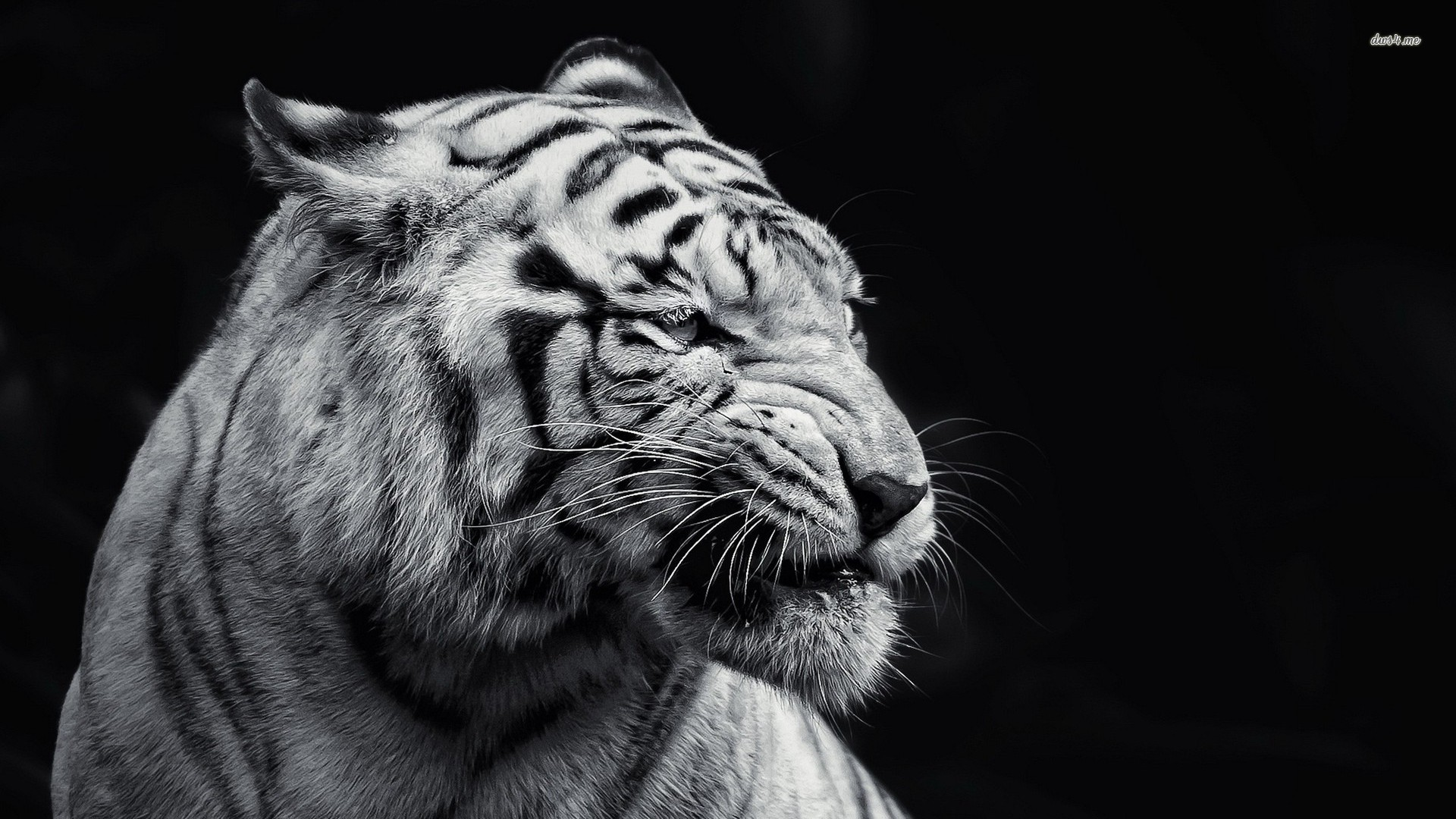 black and white tiger wallpaper - sf wallpaper