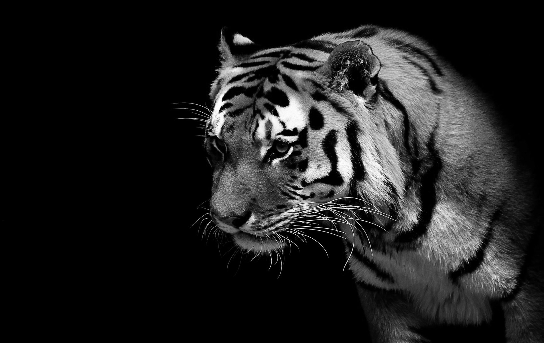 White Tigers Wallpapers (85+)