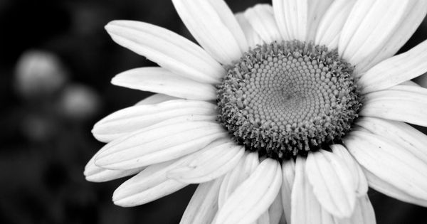 Black and White Flower Wallpaper Backgrounds for Desktop | Flowers