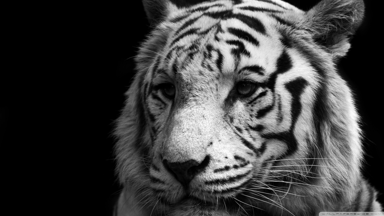 Tiger Black And White HD desktop wallpaper : Widescreen : High