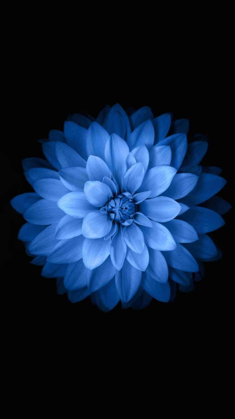 Blue black flower - iPhone 6s Wallpaper