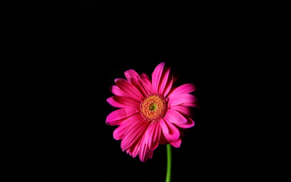 Pink and Black Flower Wallpaper - WallpaperSafari