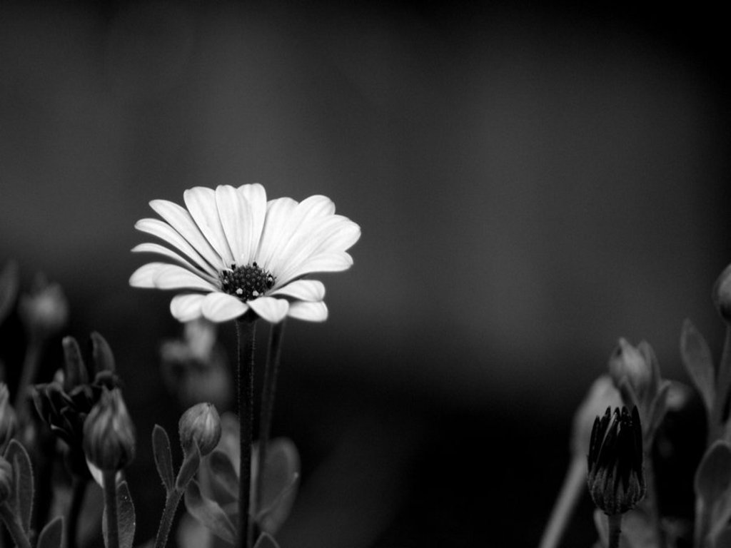 Black Flower Wallpaper #6903131