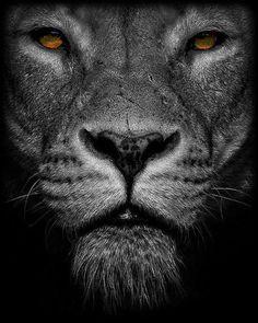 Black Lion Sf Wallpaper