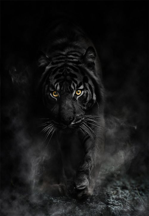 1000+ ideas about Black Tigers on Pinterest | Melanism, Melanistic