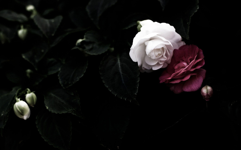 Black Rose Wallpaper Sf Wallpaper