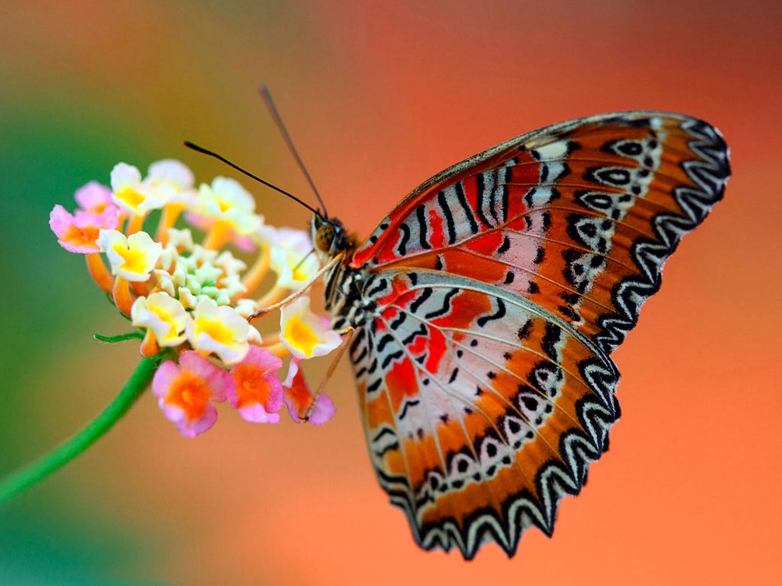 Butterfly Desktop Wallpaper - WallpaperSafari