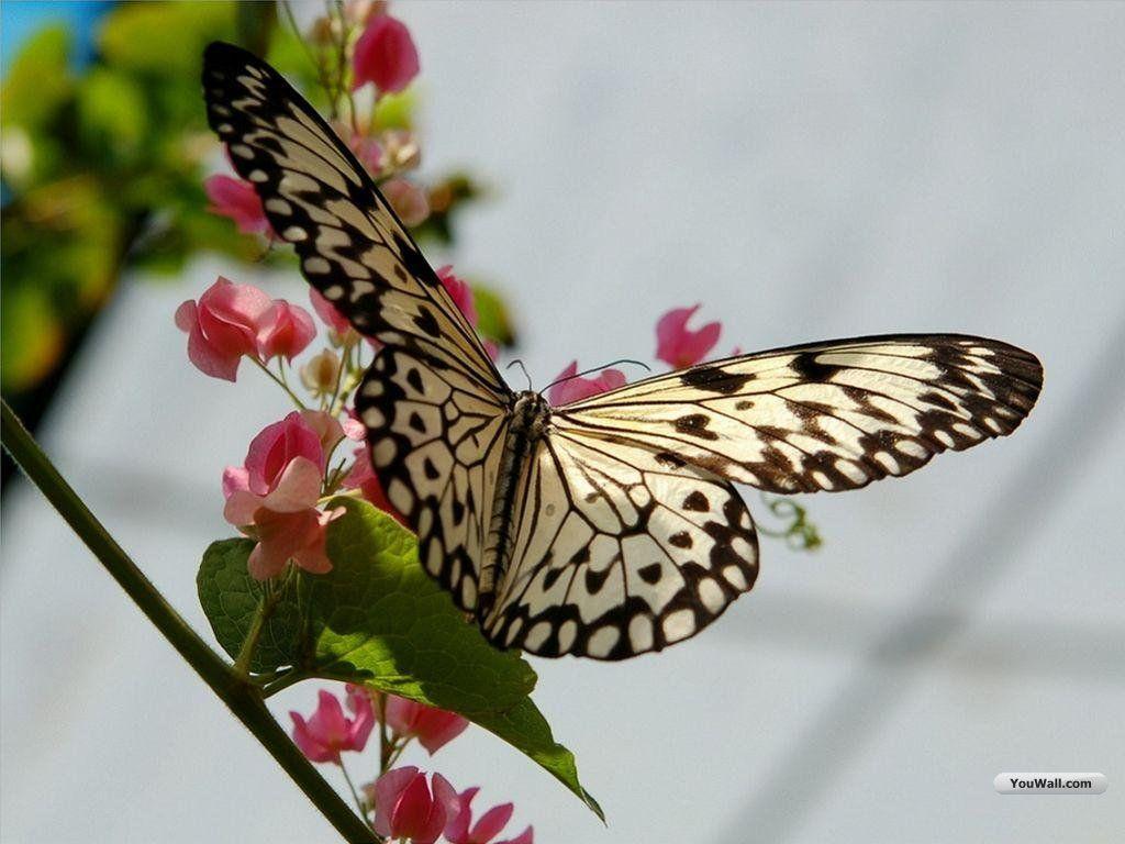 Butterfly Wallpapers Desktop - Wallpaper Cave