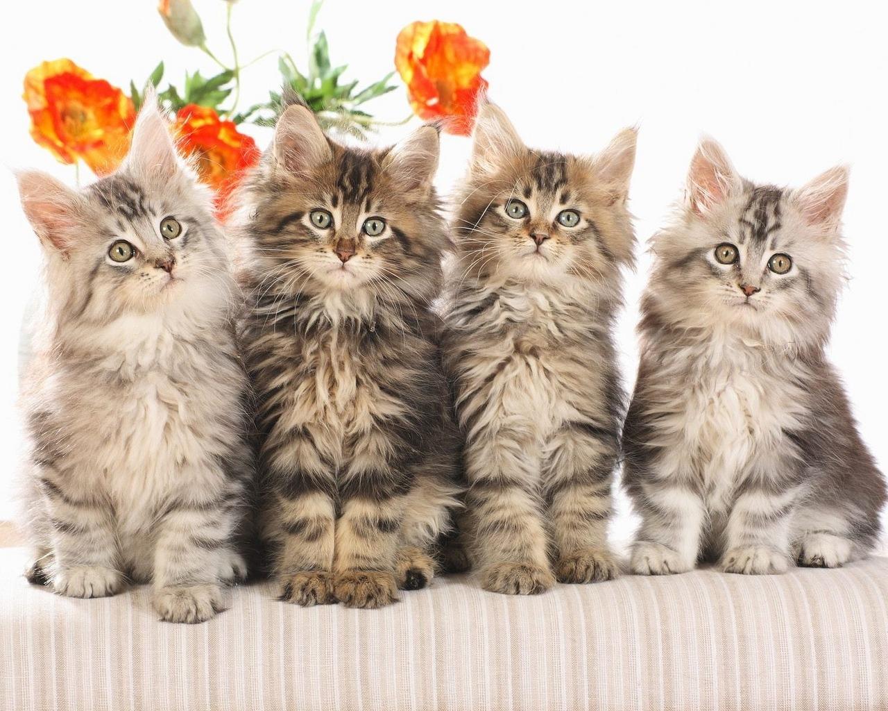 Cat Desktop Background - WallpaperSafari