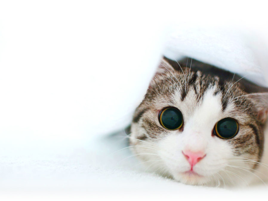Collection Of Cat Desktop Backgrounds On Hdwallpapers Widescreen