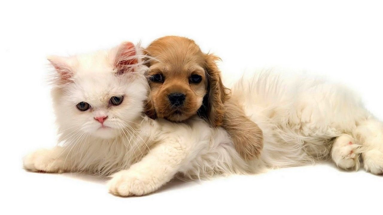 Cats And Dogs Wallpaper Sf Wallpaper