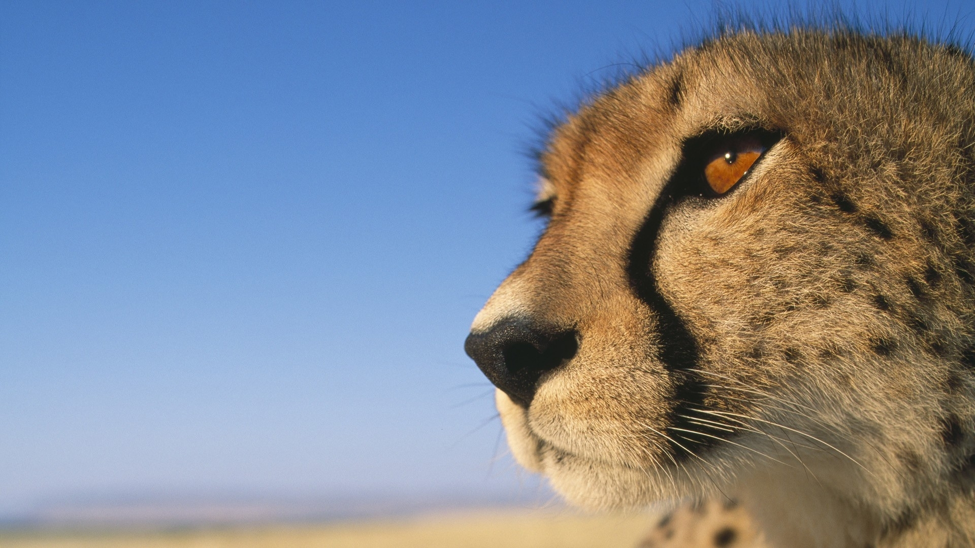 Cheetah Wallpapers HD | PixelsTalk Net