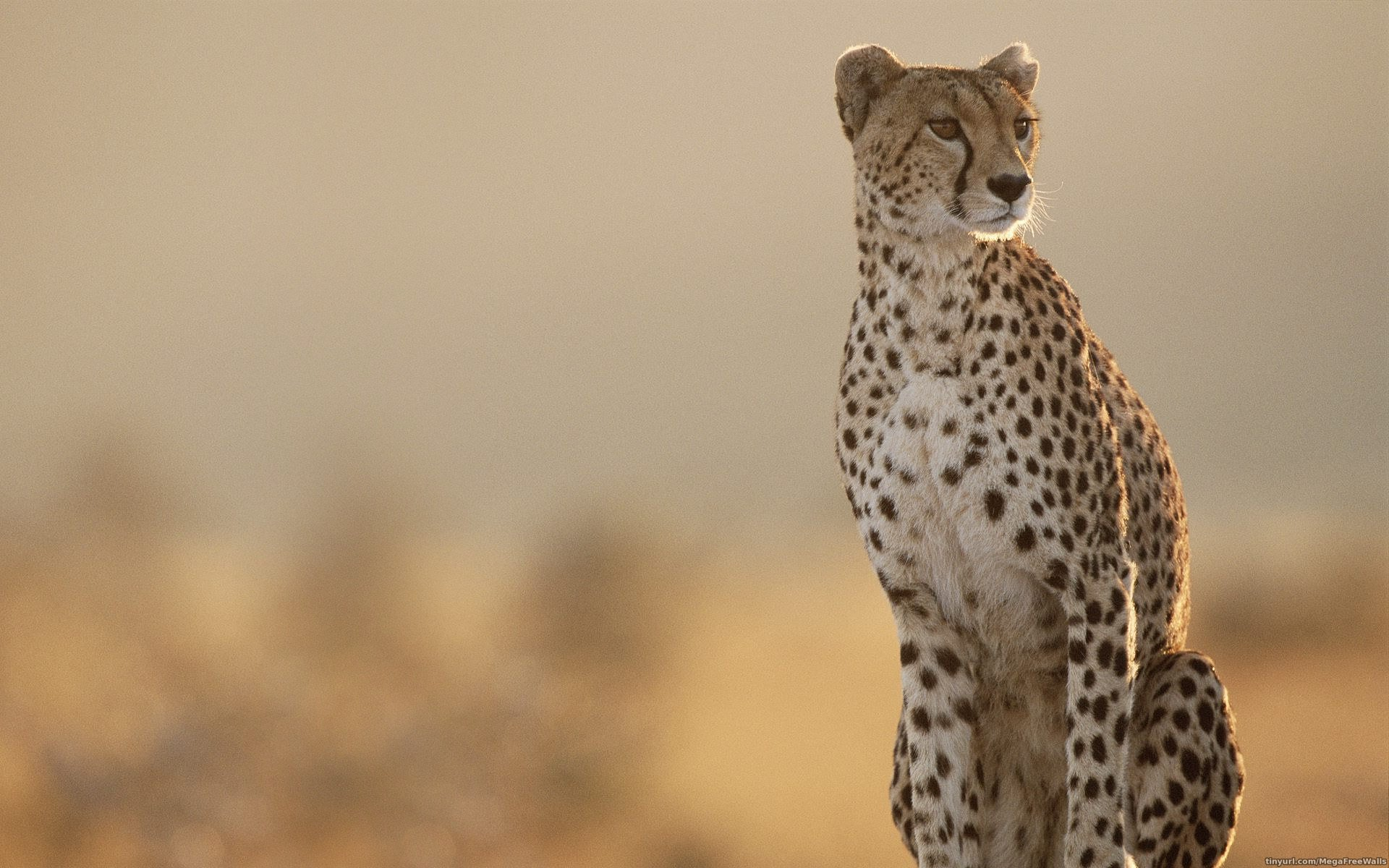 79 Cheetah HD Wallpapers | Backgrounds - Wallpaper Abyss
