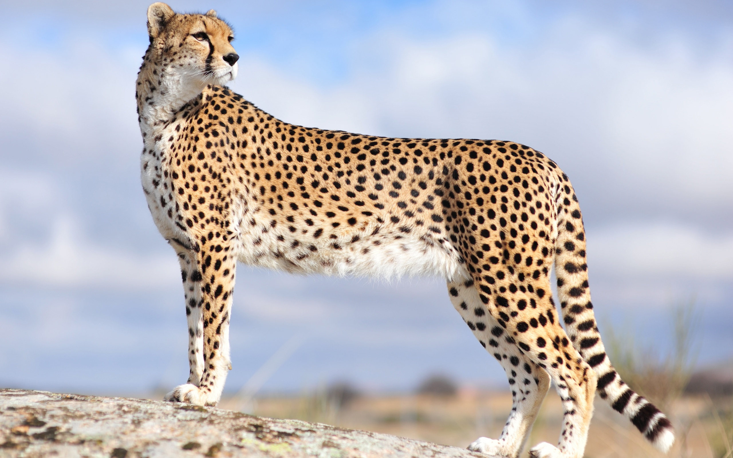 Cheetah Wallpapers Images - Wickedsa com