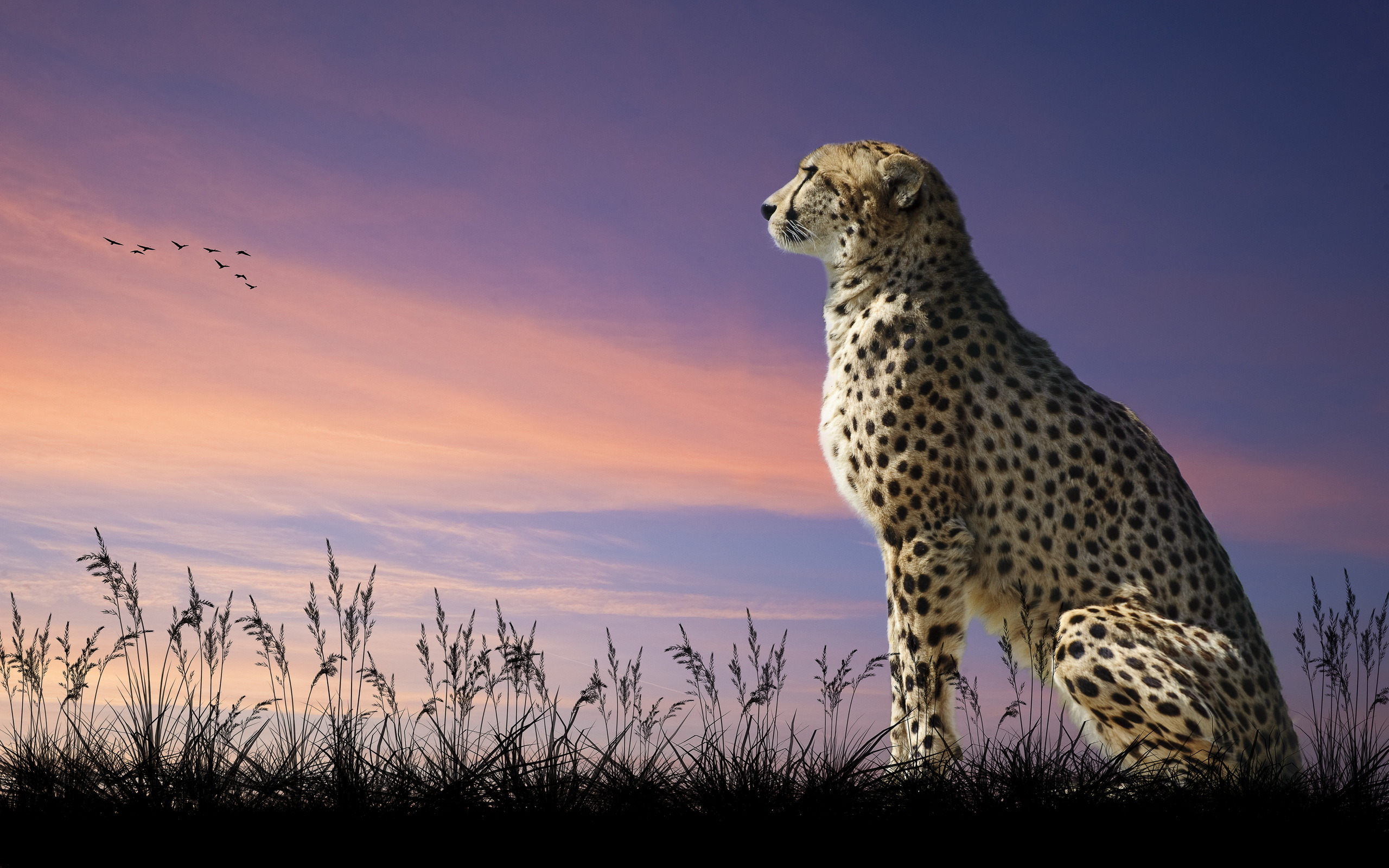 273 Cheetah HD Wallpapers | Backgrounds - Wallpaper Abyss