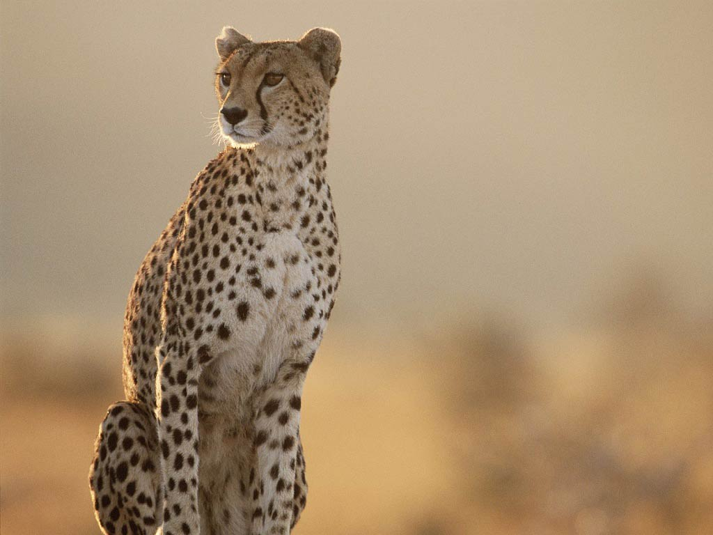 100% HDQ Cheetah Wallpapers | Desktop 4K FHDQ Pictures