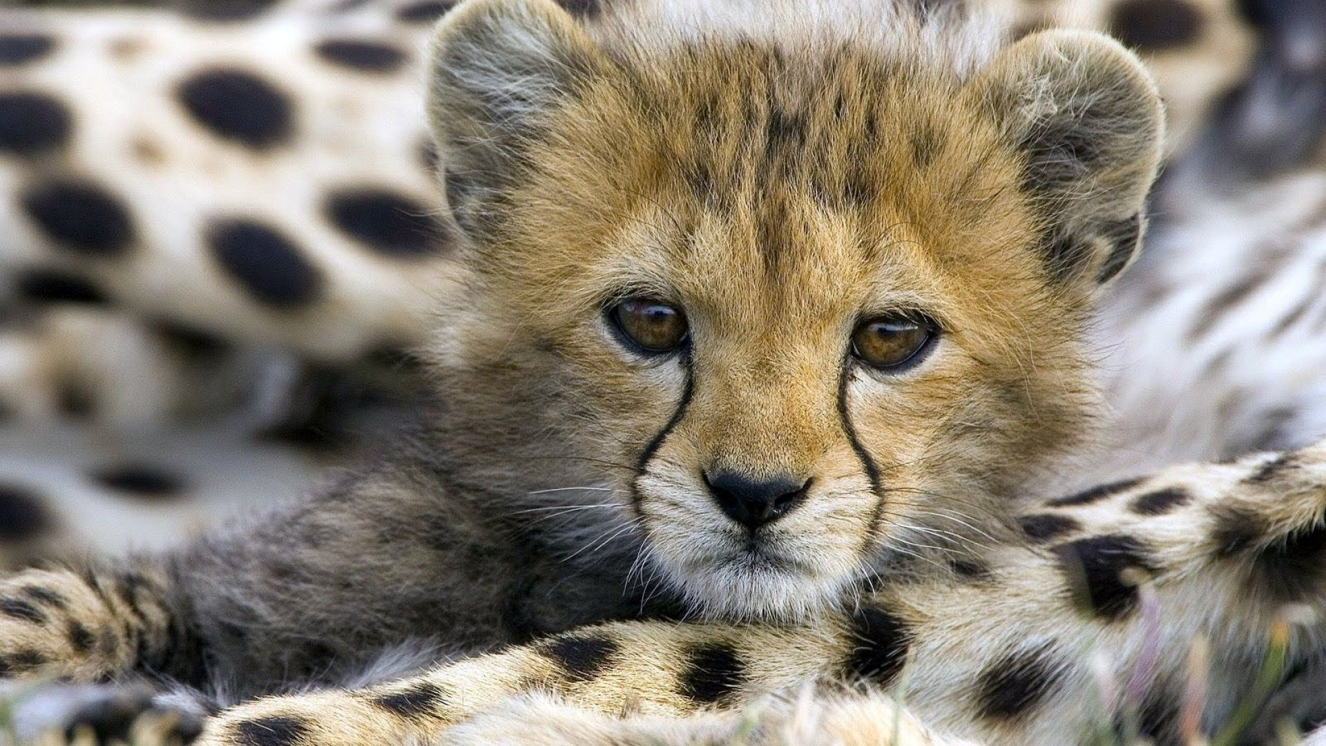 Cute Cheetah Wallpapers - Wallpaper Cave