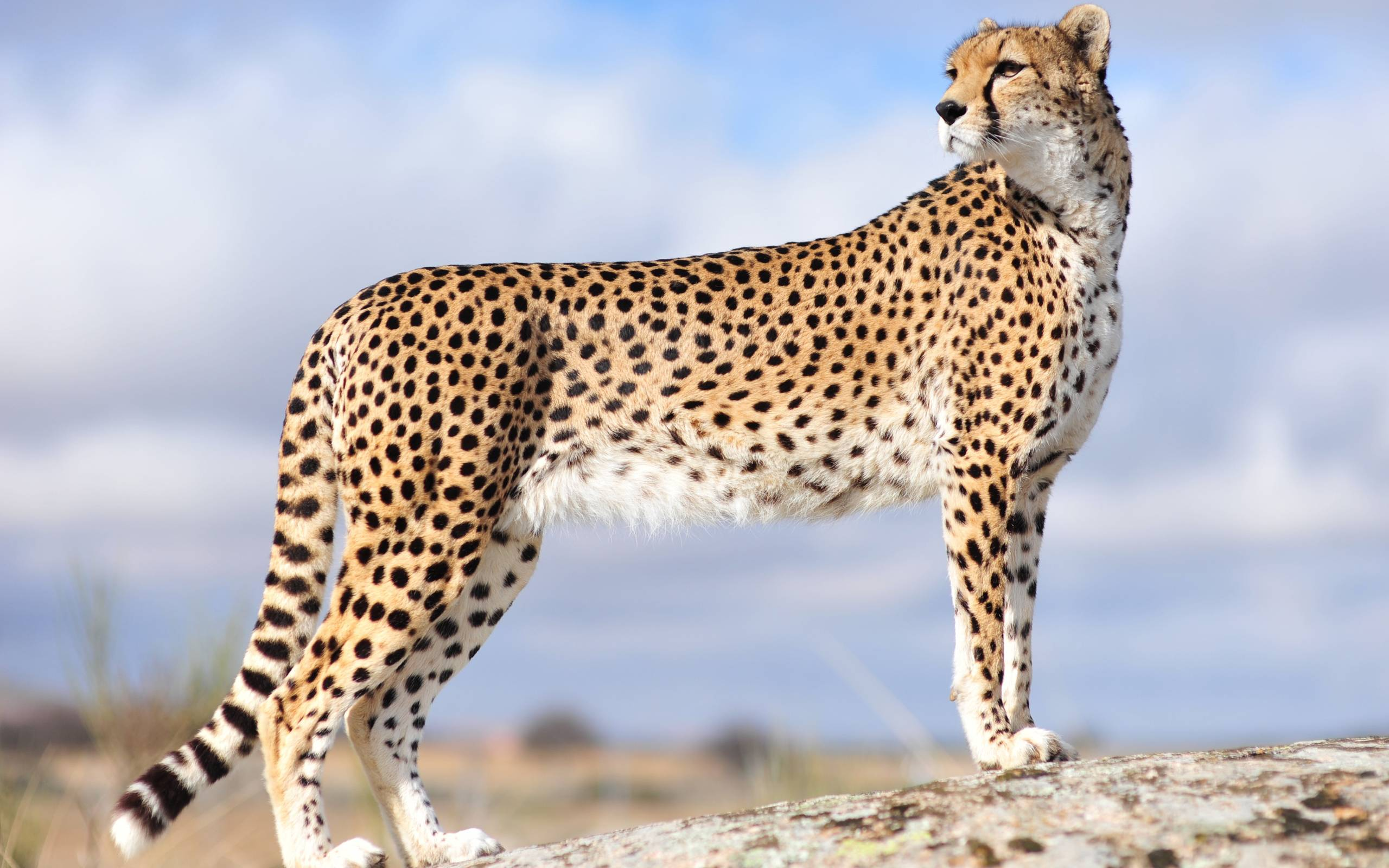 Cheetah Wallpapers HD - Wallpaper Cave