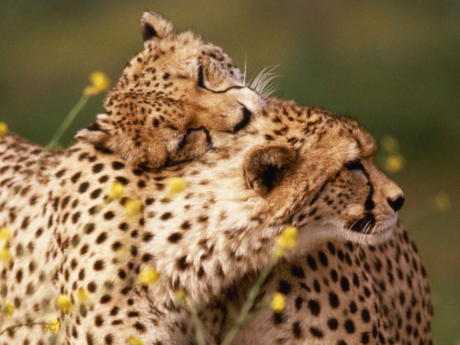 Cheetah Wallpaper - Animals Town