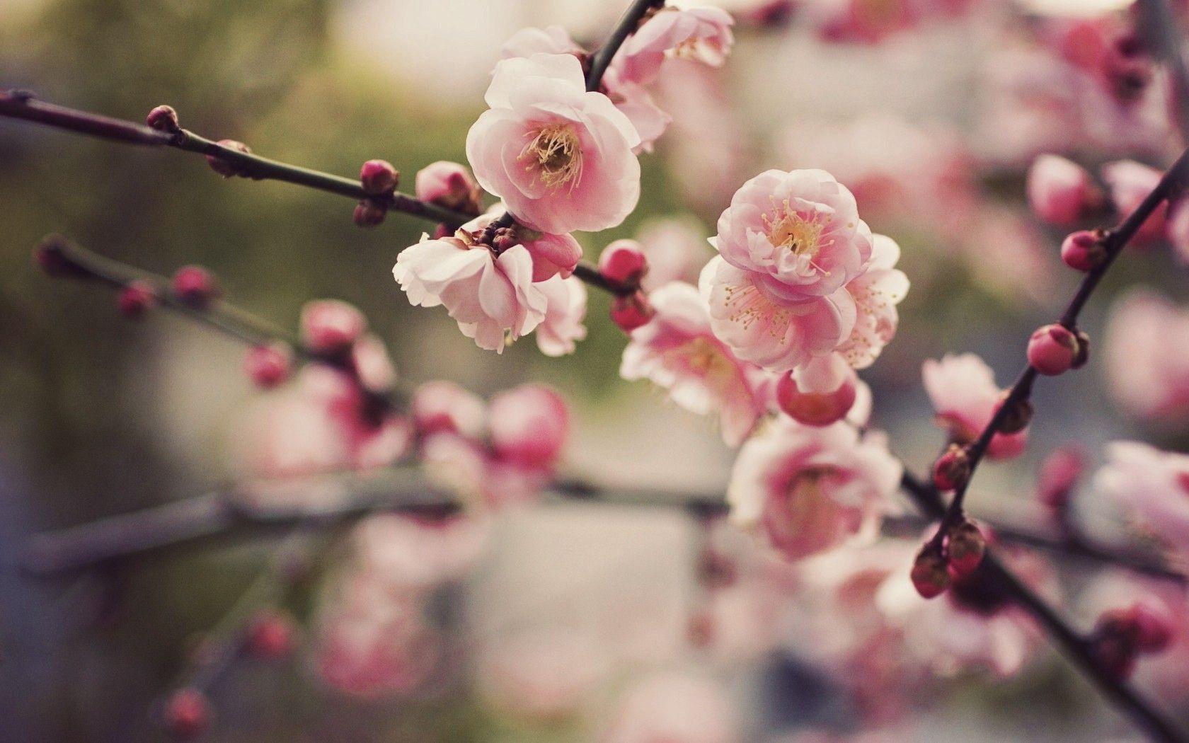Cherry Blossom Desktop Backgrounds