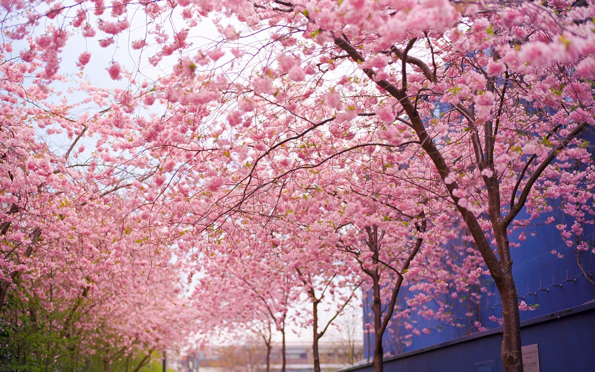 Cherry Blossom Tree Wallpaper Sf Wallpaper