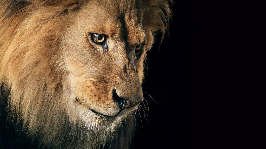 Cool Lion Wallpaper - WallpaperSafari