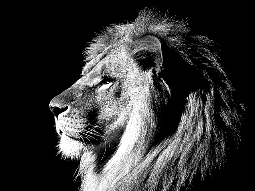 Cool Lion Wallpaper