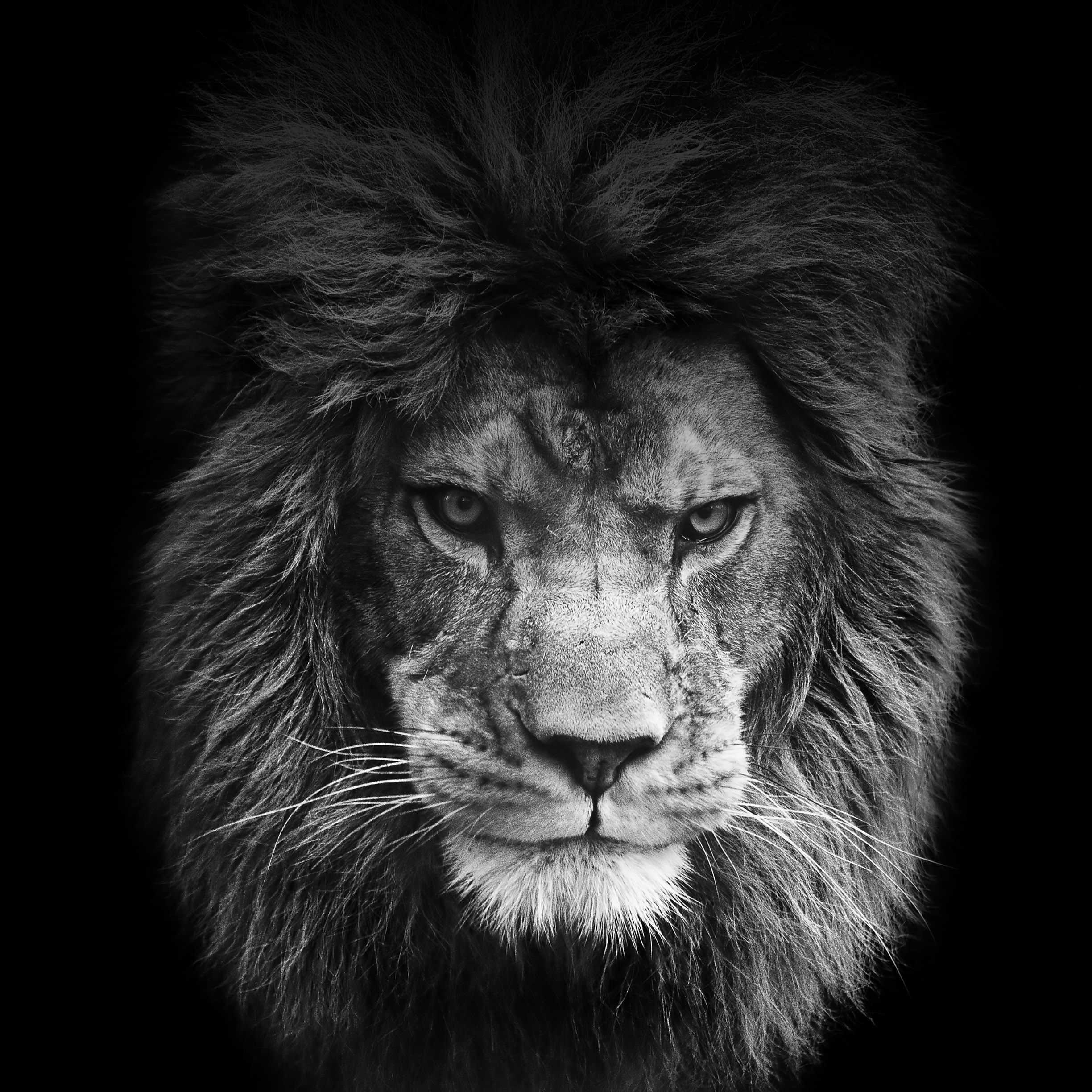10+ ideas about Lion Wallpaper on Pinterest | Leon, Hakuna matata