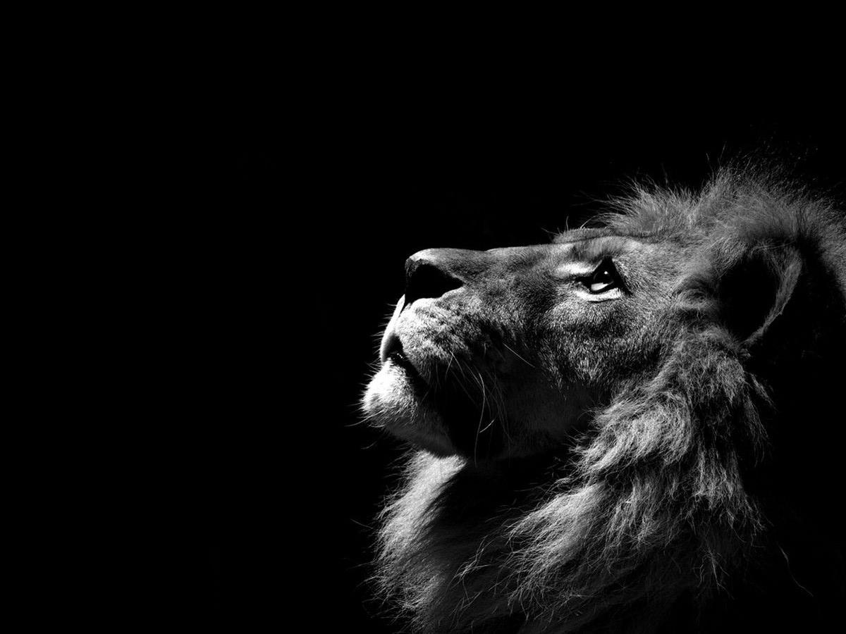 Lion Black and White Cool Backgrounds Wallpapers 6369 - Amazing
