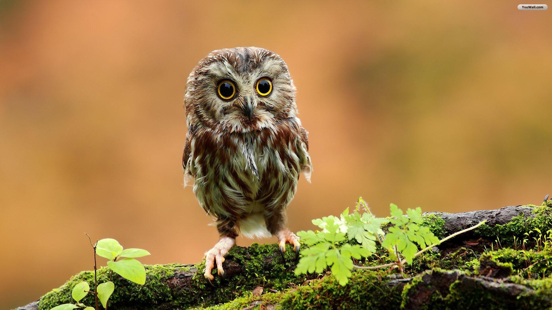 1000 Ideas About Cute Owls Wallpaper On Pinterest