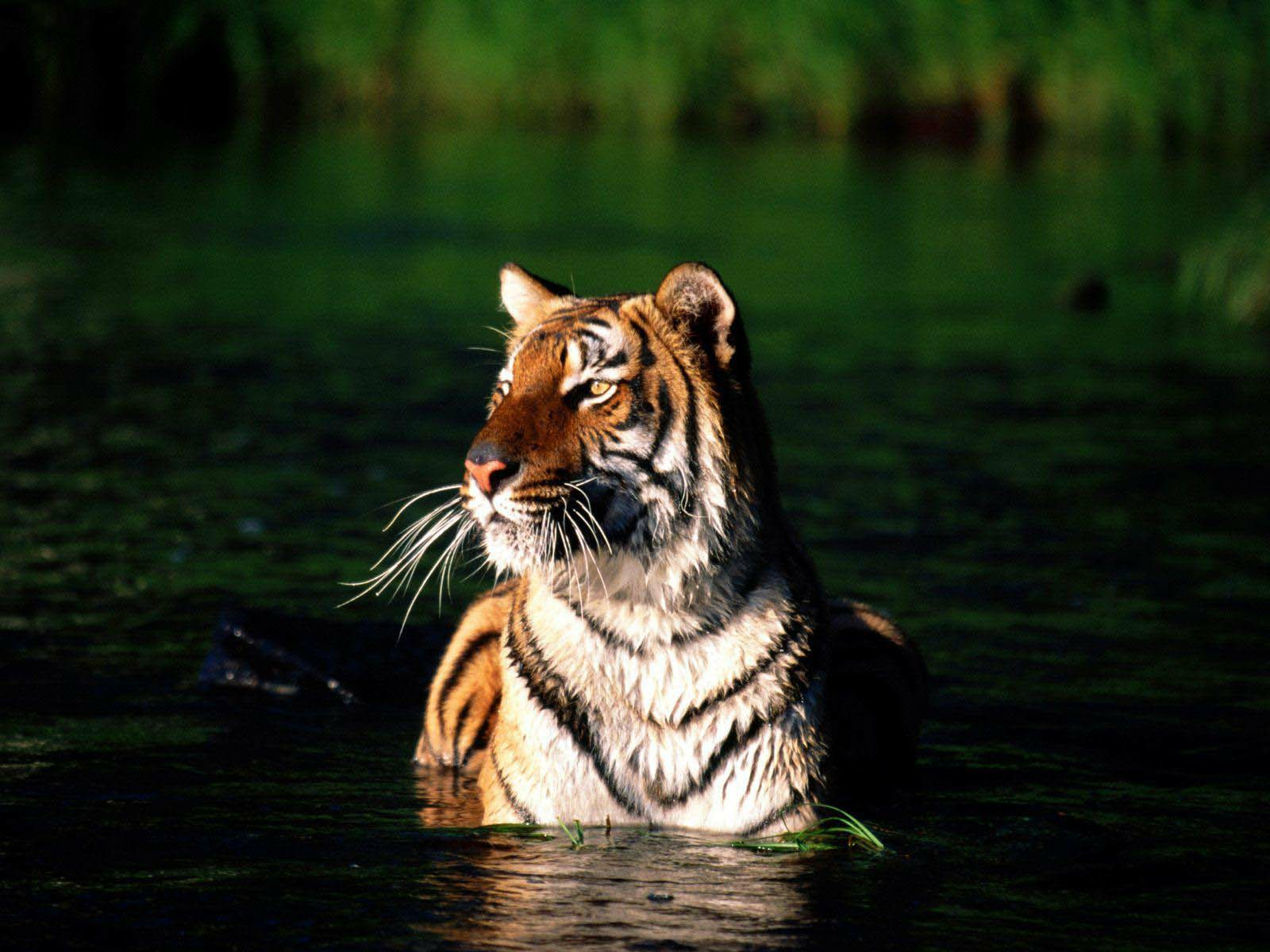 Hd Cool Tiger Wallpapers Download