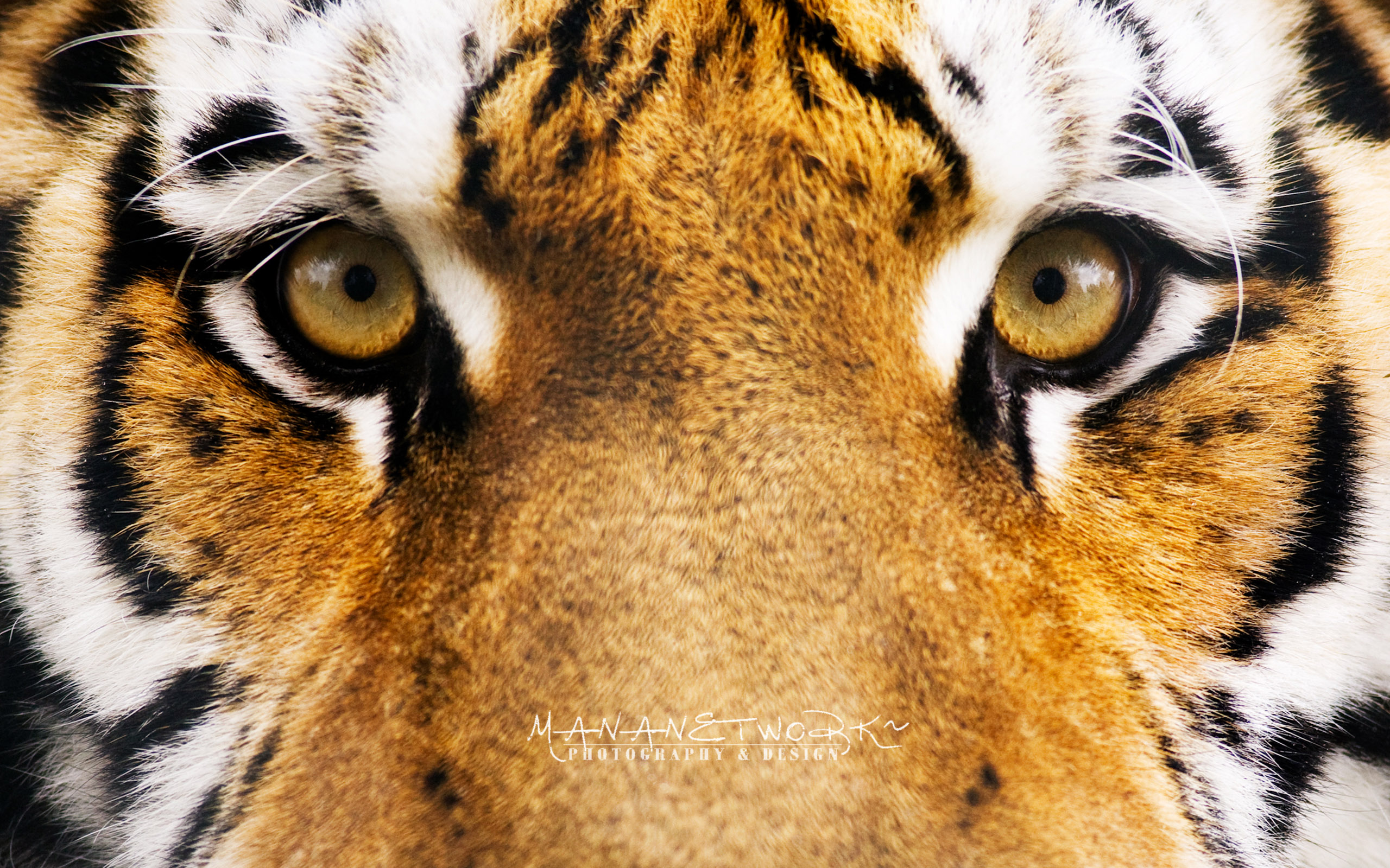 cool tiger wallpaper 12O | appahome