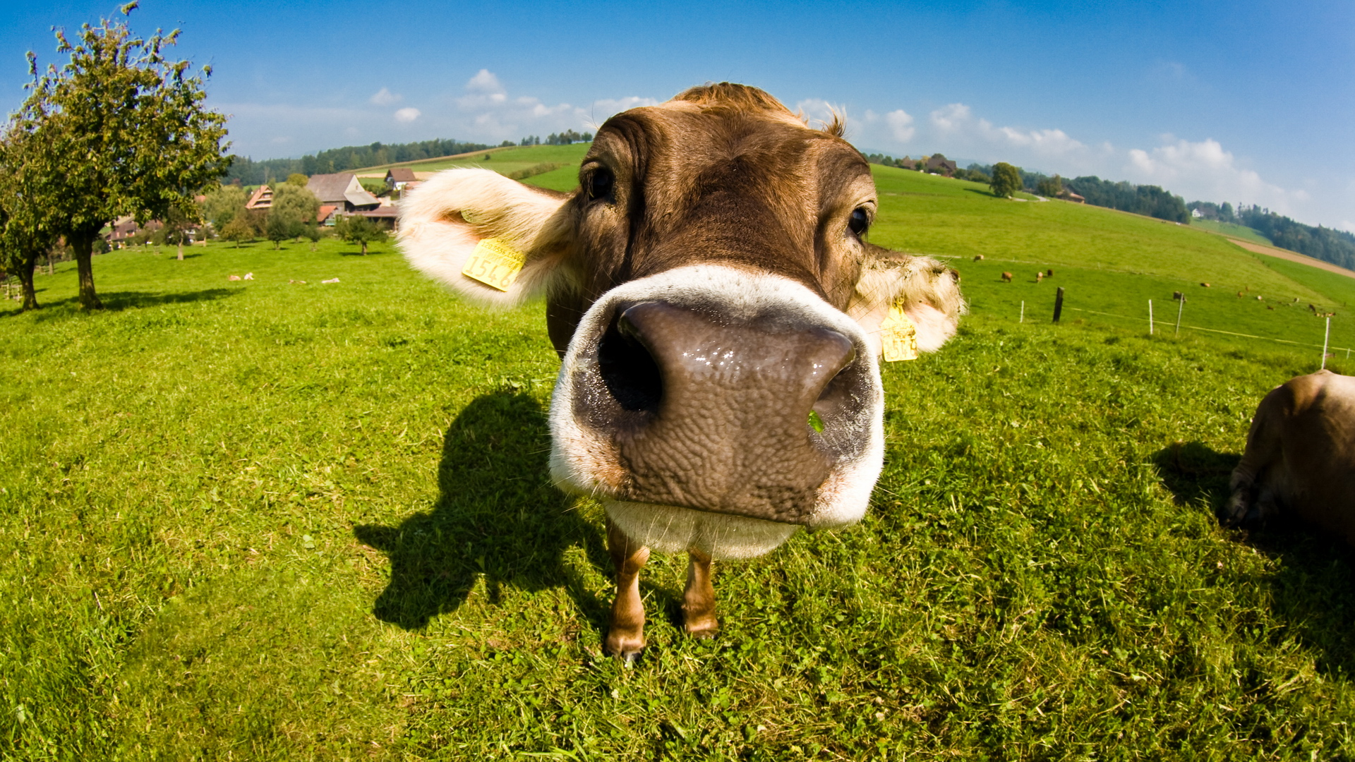 Best HD Wallpaper's Collection: Cows Wallpapers (44) of Cows