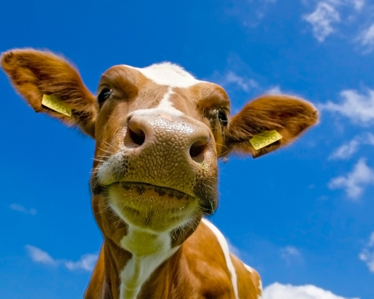 Cow Wallpaper Cows Animals Wallpapers in jpg format for free download