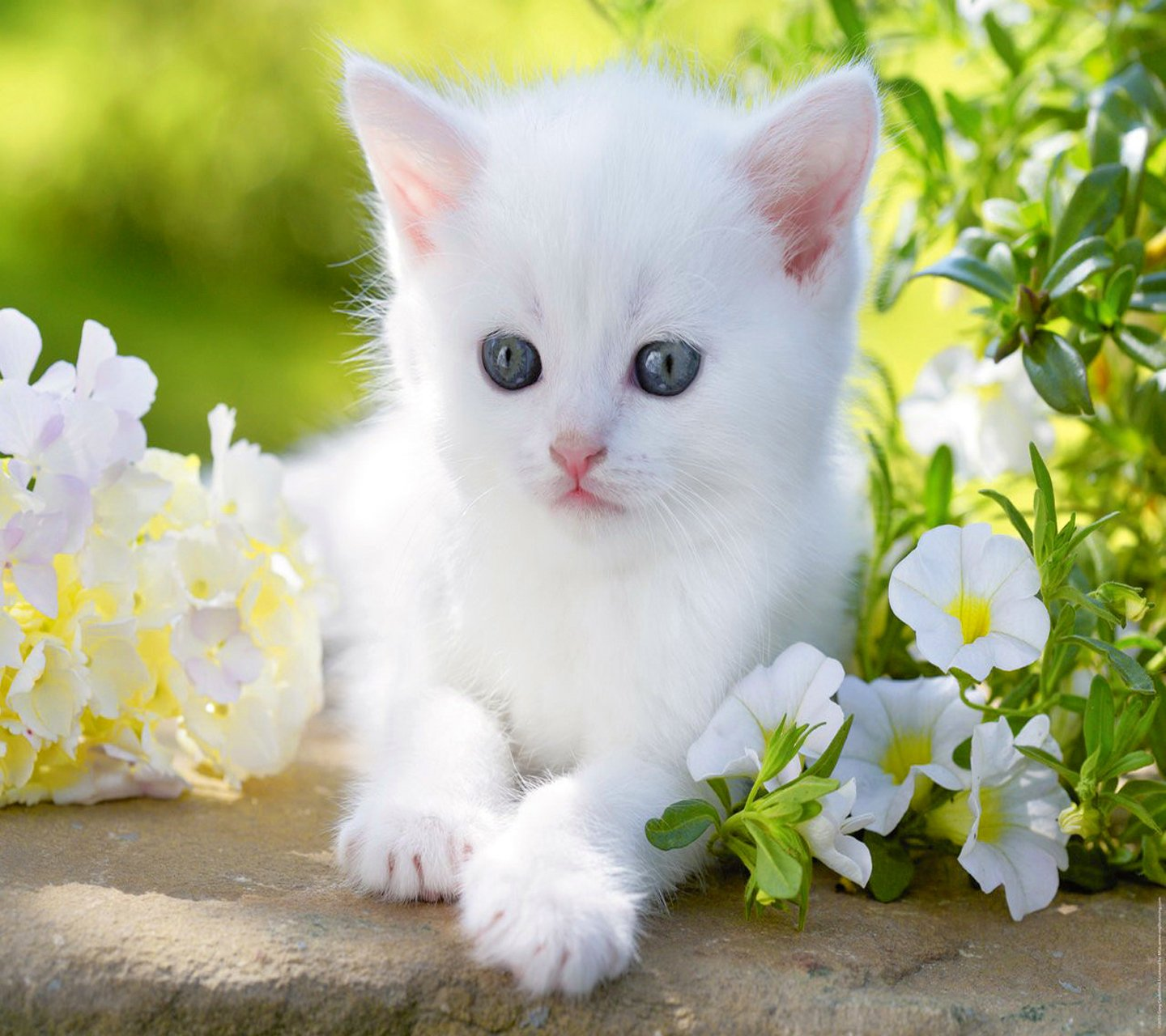 Cute Baby Cats Wallpaper Sf Wallpaper