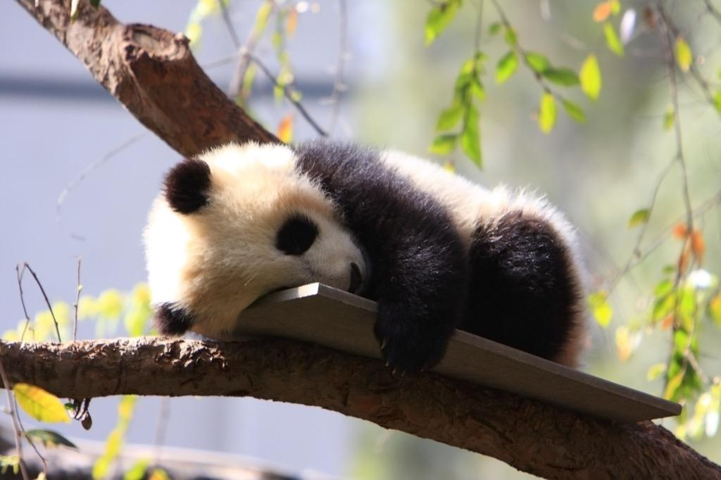 Baby Pandas Wallpaper Images - Android Apps on Google Play