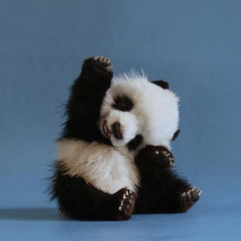 Cute Baby Panda - wallpaper