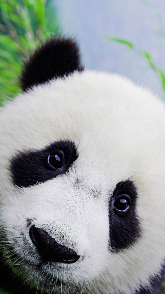 Cute Baby Panda Wallpaper For iPhone HD | Animal Wallpaper for