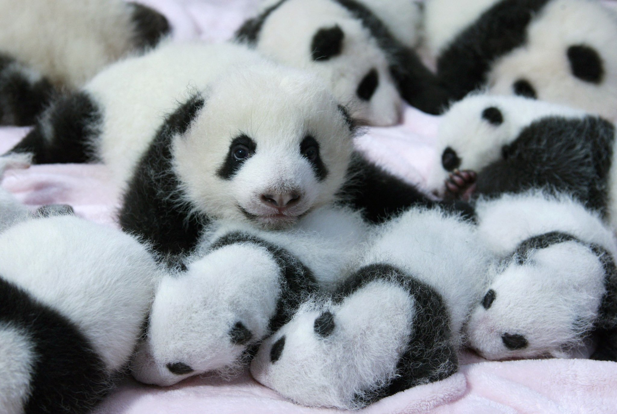 Cute Baby Panda Wallpaper - wallpaper