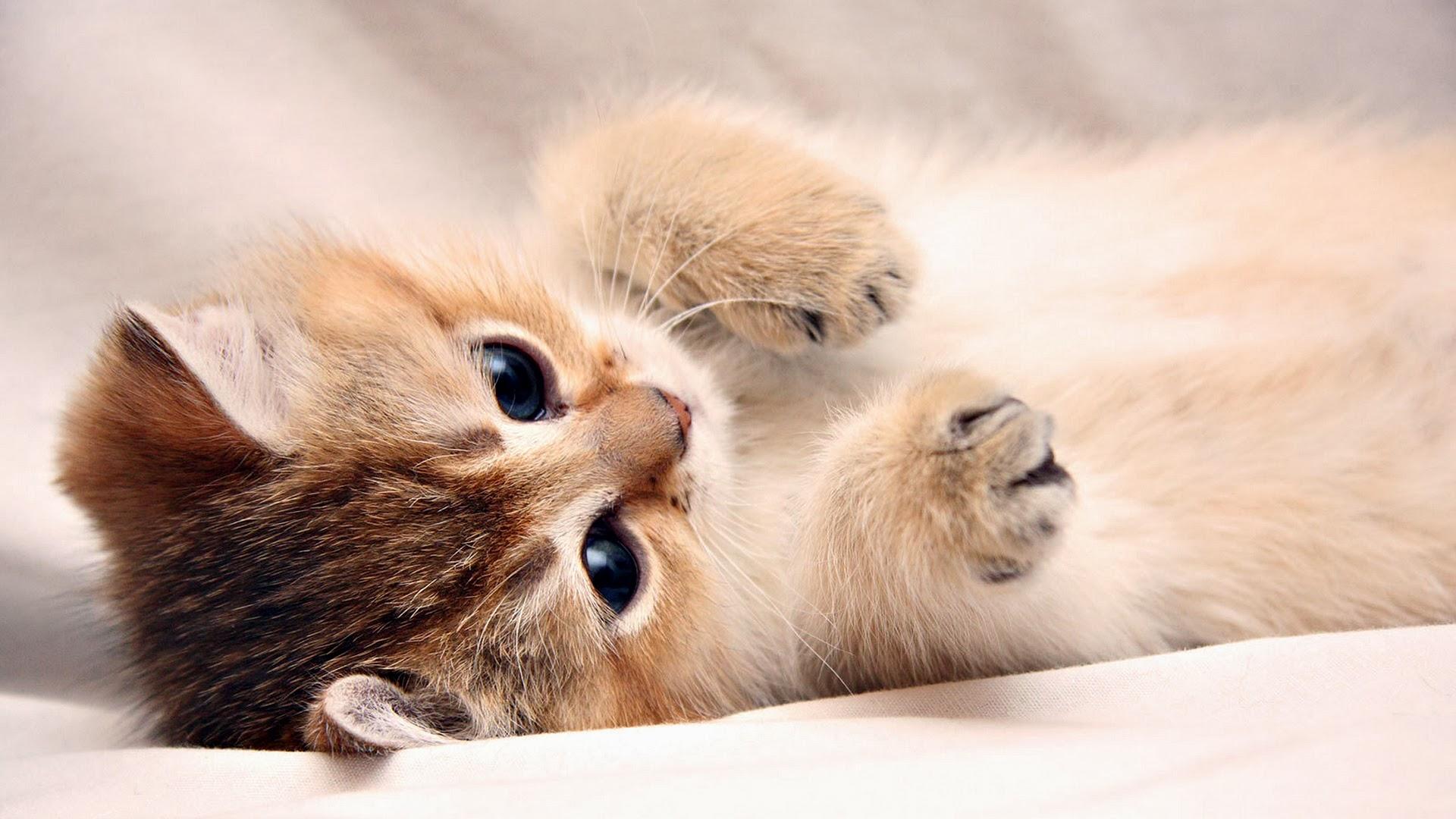 Cute Cat Wallpaper Hd Sf Wallpaper