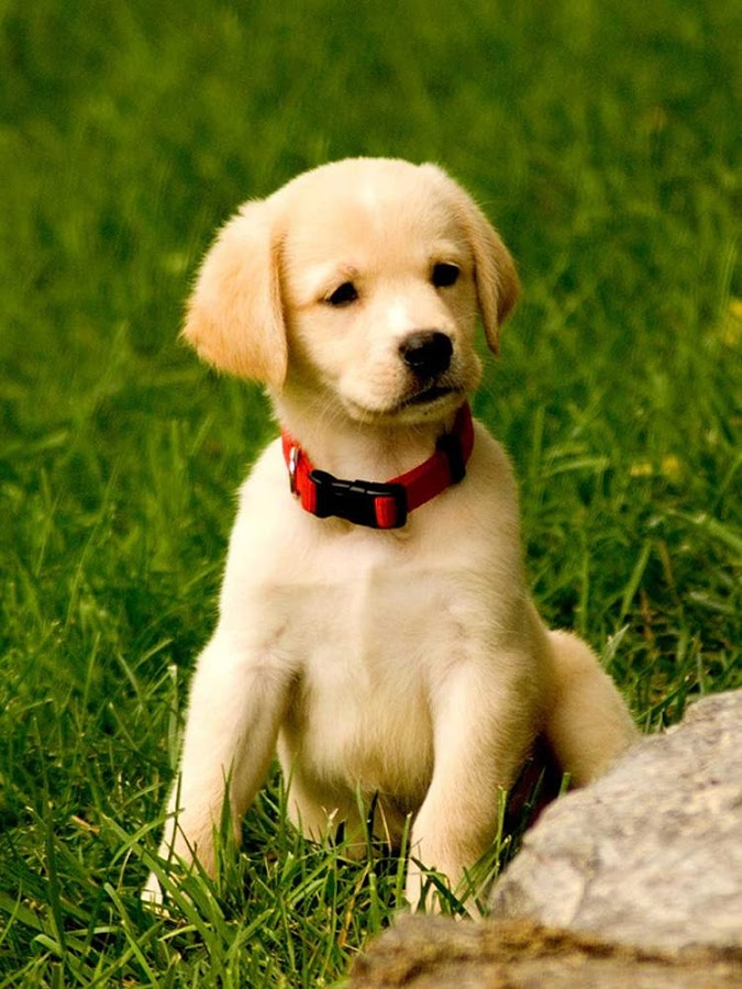 Puppy Wallpaper Doggy Wallpapers Sf Wallpaper