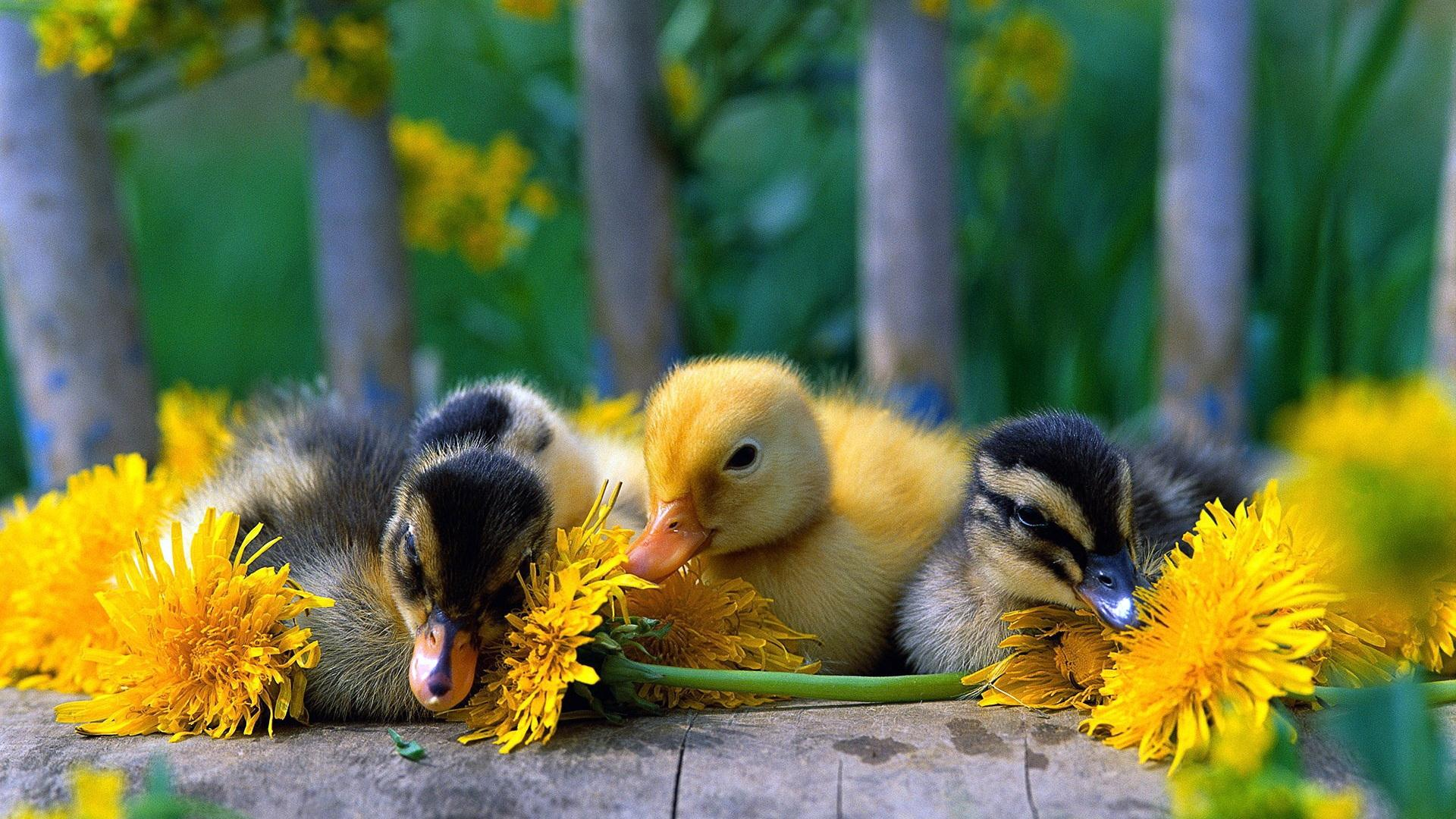 Baby Duck Wallpapers - Wallpaper Cave