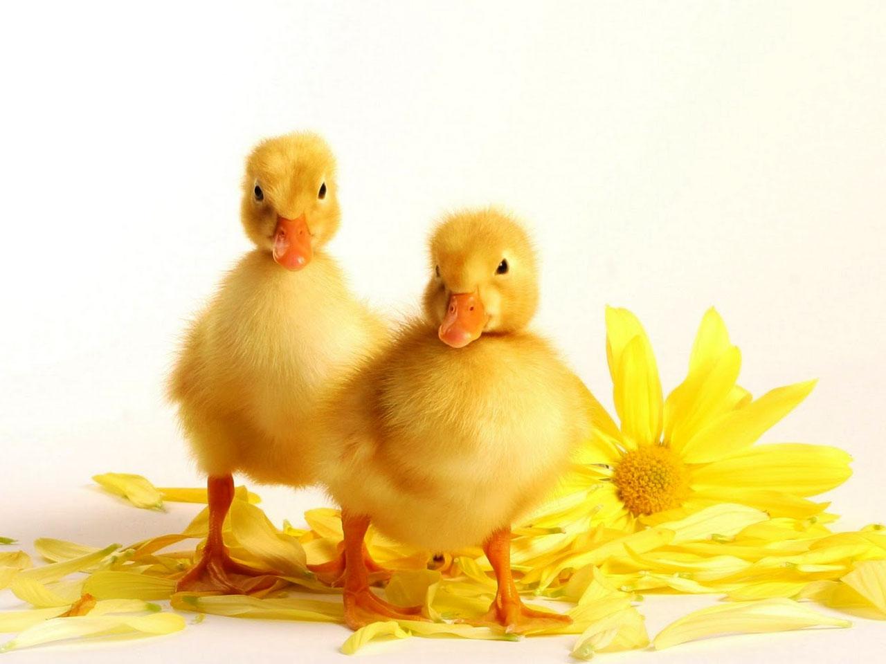 Ducks Wallpaper - Wild Ducks Bird Photo Gallery