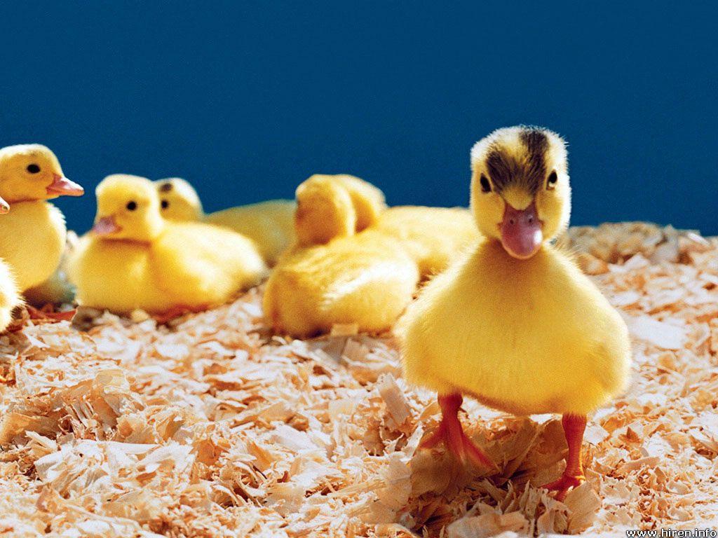 Cute Baby Ducks Hd Wallpapers in Animals Imagesci com | Wallpaper