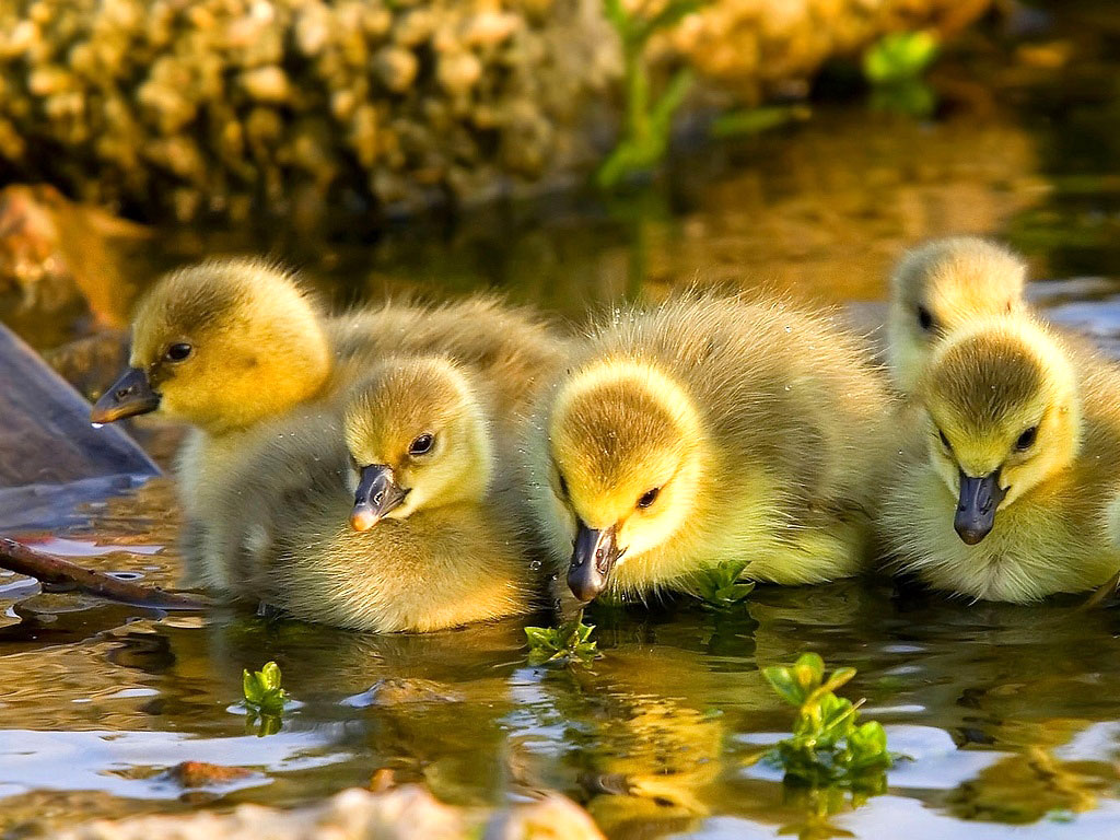 Collection of Cute Duck Wallpaper on HDWallpapers
