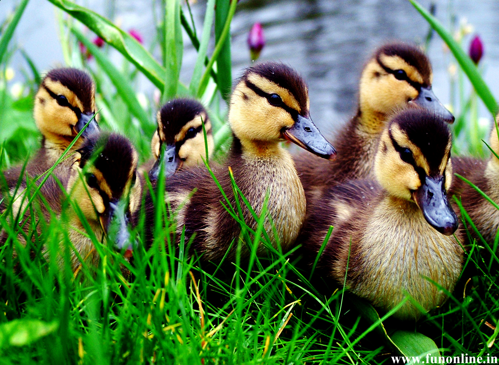 Cute Baby Duck Wallpaper – Free wallpaper download
