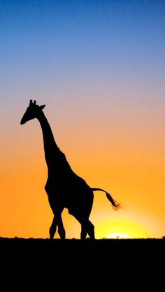 CUTE GIRAFFE, IPHONE WALLPAPER BACKGROUND | IPHONE WALLPAPER
