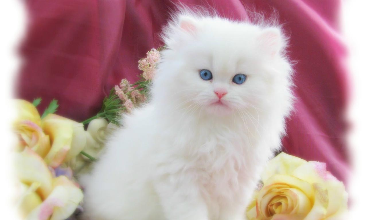 cute white cats wallpapers - sf wallpaper