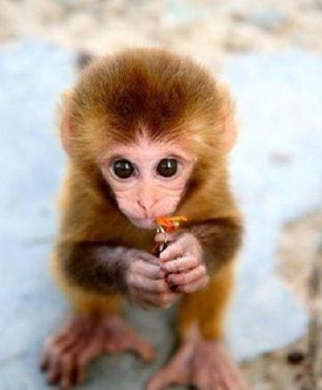 Cute Baby Monkeys | Cute baby monkey wallpaper pictures 4 | Cute