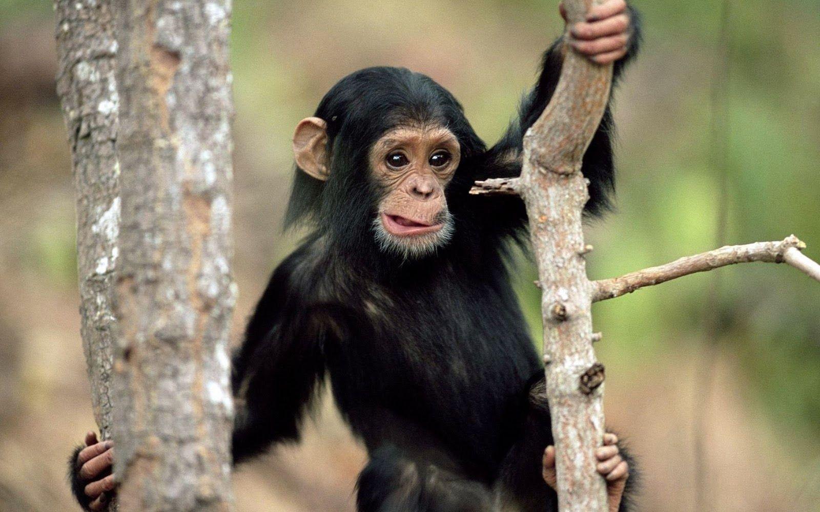 Cute Monkeys Wallpapers Group (64+)